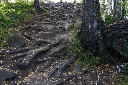 Mysterious path full of roots in the middle of the wooden forest, surrounded by trees bushes and leaves. Between roots are stones.