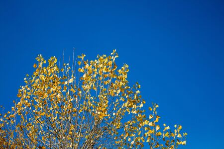 Branches of a tree with yellow leaves against a blue sky. Late autumn Stock fotó