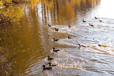 Ducks on the lake. A small group of ducks landed on the lake and left a trail on the water. Stok Fotoğraf