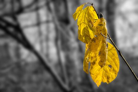 Yellow autumn leaves on a tree branch. Close up. The background is black and white and blurred.