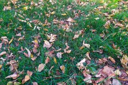 Yellow dried leaves lie on the green grass. Autumn day.