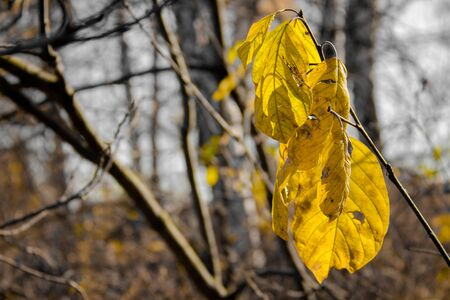 Yellow autumn leaves on a tree branch. Close up. The background is blurred.