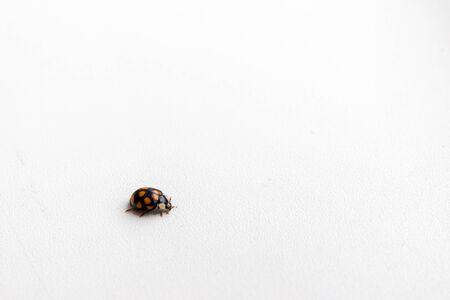 Ladybug isolated on white background. Side view.