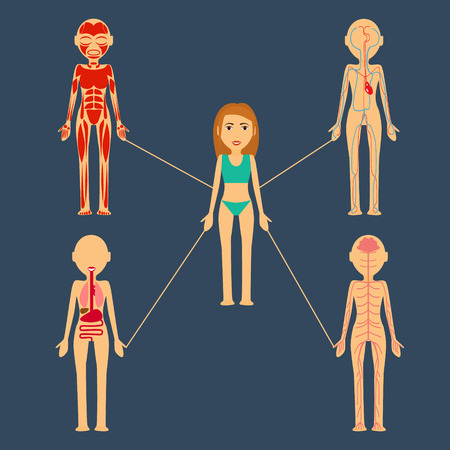 Vector illustration. Human organs. mishichnaya mass, bone, nervous system, blood system lymphatic system