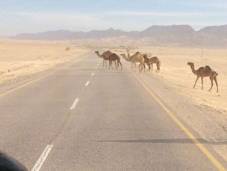jordan: Camels cross the road, Jordan