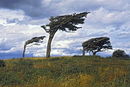 blown: Flag Trees, Argentina, Tierra Del Fuego Stock Photo