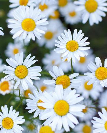 daisy flowers Imagens - 31176035
