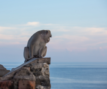 wild asia: Monkeys at the temple of Uluwatu on the island of Bali, Indonesia Stock Photo