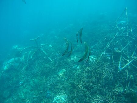 submerge: Underwater shot at Biorock restoration area in the village of Pemuteran. Bali