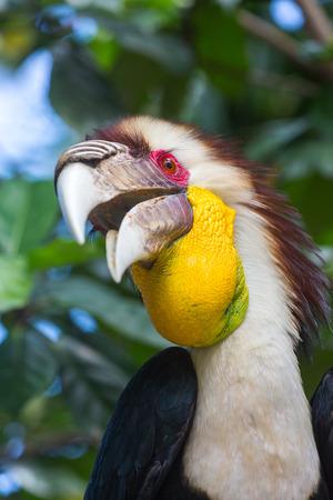 undulatus: Bar-pouched wreathed hornbill (Rhyticeros undulatus)