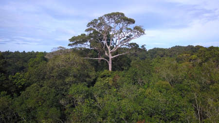 Close to huge big green tree stay alone above lush canopy of tropical rainforest