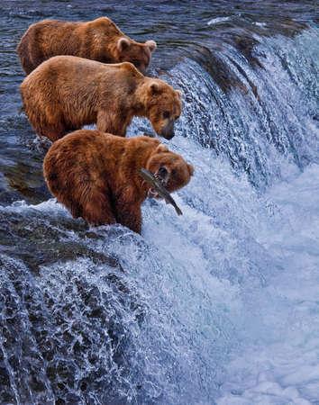 oso: Grizly osos en Katmai National Park, Alaska, EE.UU.