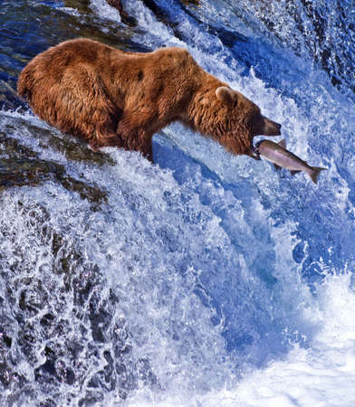 grizzly: Grizly Bears w Parku Narodowym Katmai na Alasce, USA Zdjęcie Seryjne