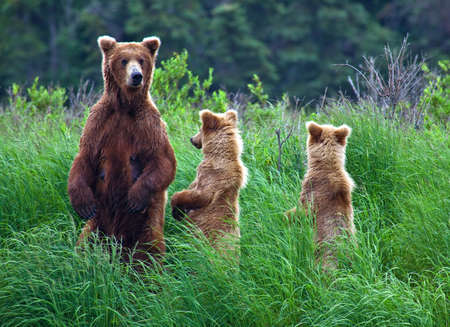 grizzly: Grizly Bears at Katmai National Park, Alaska, USA Stock Photo