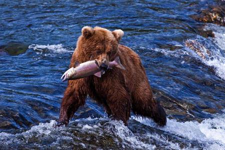 grizzly: Grizly Bears w Katmai National Park, Alaska, USA Zdjęcie Seryjne