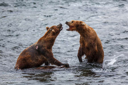 alaskan bear: Grizly Bears at Katmai National Park, Alaska, USA Stock Photo