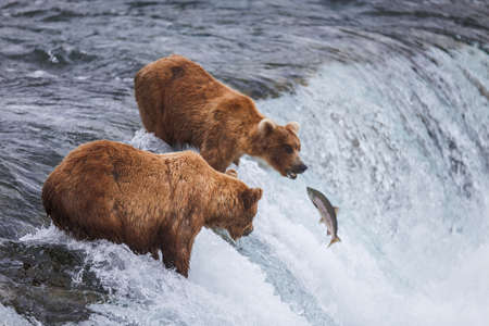 oso pardo: Grizly osos en Katmai National Park, Alaska, EE.UU.