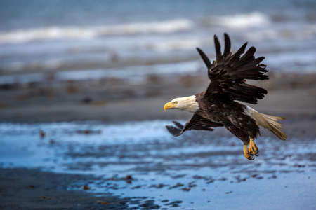 American Bald Eagle at Anchor Point, Homer Alaska Stock Photo
