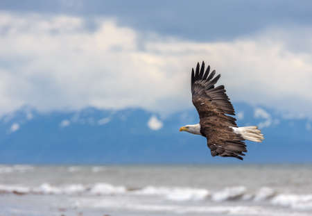 American Bald Eagle at Anchor Point, Homer Alaska Stok Fotoğraf