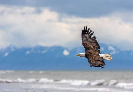 calvo: Águila calva americana en Anchor Point, Alaska Homer