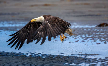 homer: American Bald Eagle at Anchor Point, Homer Alaska Stock Photo