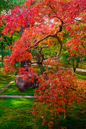 Fall colors in Japan-Momiji. Colorful leaves (koyo) are to the Japanese autumn what cherry blossoms are to spring. The viewing of autumn leaves has been a popular activity in Japan for centuries and today draws large numbers of travelers to famous koyo sp Stock Photo