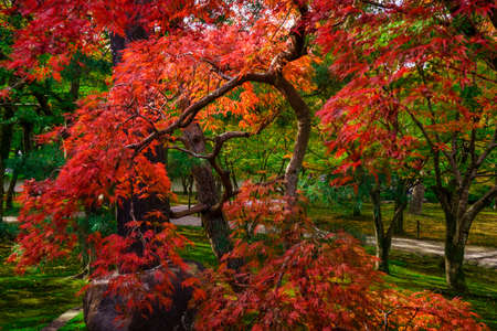 koyo: Fall colors in Japan-Momiji. Colorful leaves (koyo) are to the Japanese autumn what cherry blossoms are to spring. The viewing of autumn leaves has been a popular activity in Japan for centuries and today draws large numbers of travelers to famous koyo sp Stock Photo
