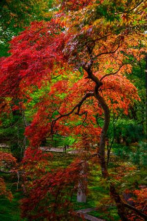 Herbstfarben in Japan-Momiji. Bunte Blätter (koyo) sind an den japanischen Herbst, was Kirschblüten Frühling sind. Die Betrachtung der Blätter im Herbst ist seit Jahrhunderten eine beliebte Aktivität in Japan gewesen und heute zieht eine große Anzahl von Reisenden zu berühmten koyo sp Standard-Bild