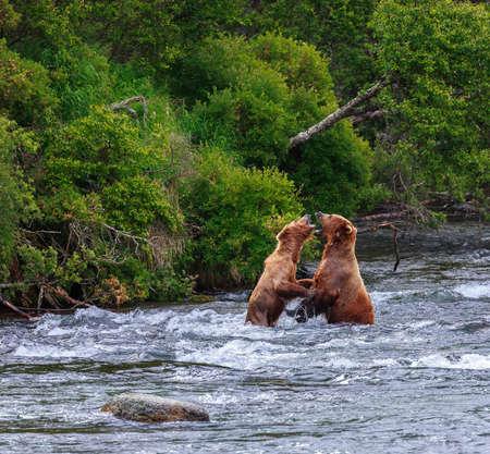 alaskan bear: Grizzly bears fishing salmon at Katmai National Park, Alaska