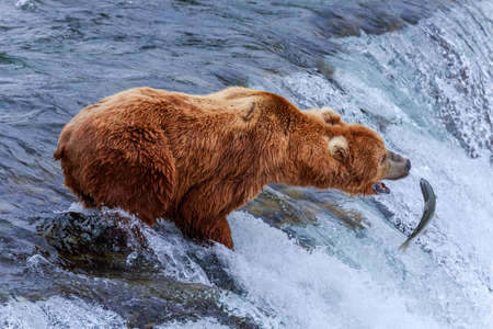 Grizzly bears fishing salmon at Katmai National Park, Alaska