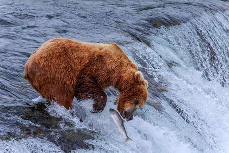 brooks camp: Grizzly bears fishing salmon at Katmai National Park, Alaska