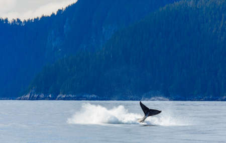 breaching: Hampback whale breaching jumping  at Kenai fjord national park Stock Photo