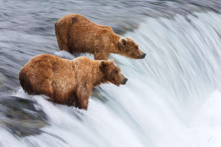 Wild grizzly bears fishing for salmon in Katmai National Park, Alaska, USA. Alaskas Kenai River offers silver, pink, red, and king salmon from May through October.