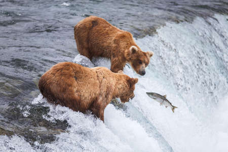 brooks camp: Wild grizzly bears fishing for salmon in Katmai National Park, Alaska, USA. Alaskas Kenai River offers silver, pink, red, and king salmon from May through October.