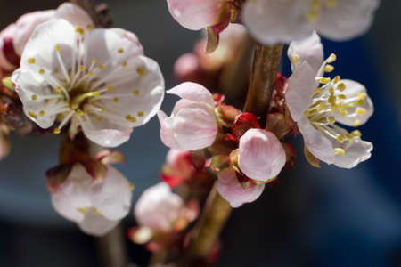 recent: Bright cherry blossom flowers closeup on dark background