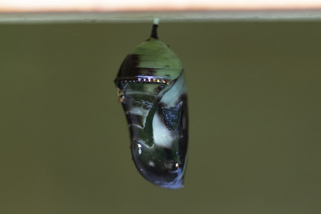 Monarch butterfly nearly ready to hatch from chrysalis