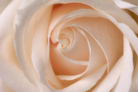 english rose: English rose close-up