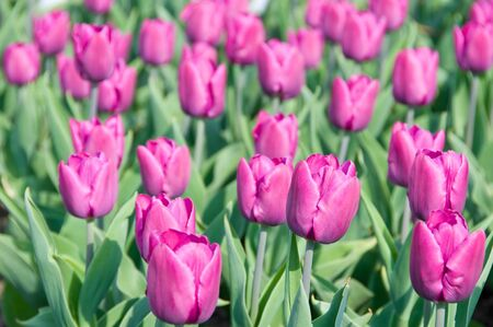 Beauty colorful tulips background