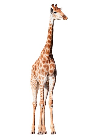 Giraffe isolated on a white backround