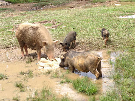otganimalpets01: Pig mommies and piglets looking food on muddy field. Stock Photo