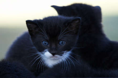 looking ahead: young black blue eyed kitten looking ahead