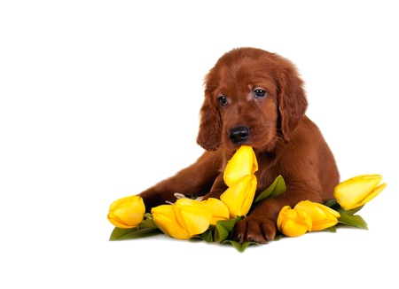 setter's puppy with flowers on a white background  Standard-Bild