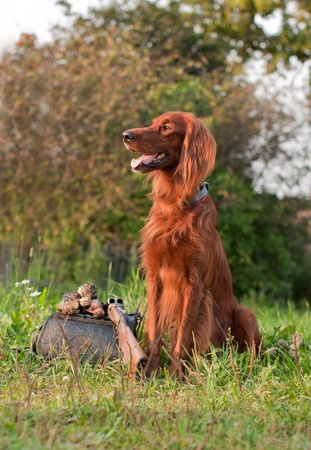 A setter siting next on a grass a shot-gun and trophies