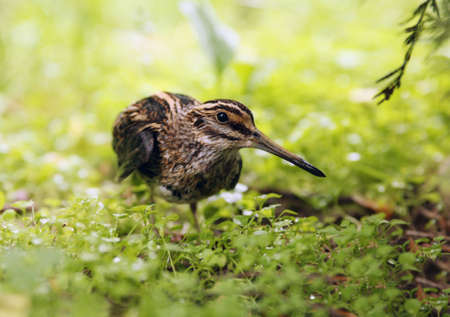 A jack snipe sitting on a green grass photo