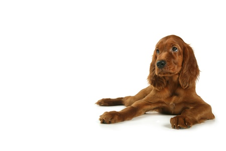 a puppy of a setter lies on a white background