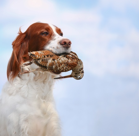 hunting dog holding in teeth a woodcock, outdoors photo