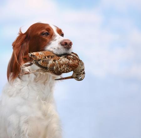 hunting dog holding in teeth a woodcock, outdoors Standard-Bild