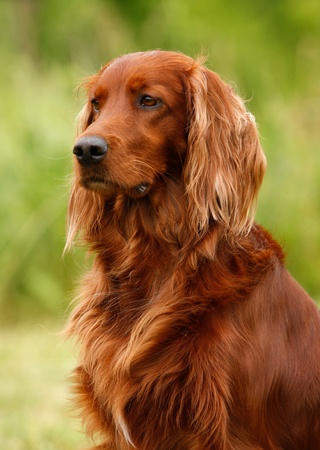 gold standard: Portrait of a irish red and white setter, vertical