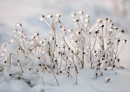 Dry grass covered with ice on snow photo