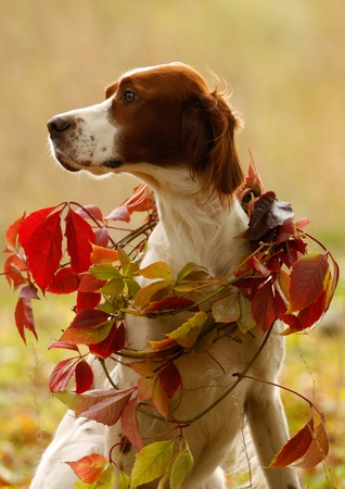 Portrait of a irish red and white setter with yellow leave, vertical photo